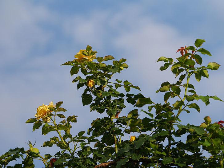 つるゴールドバニー(Gold Bunny Climbing)の2番花が増えてきた。ツルバラ。2020年-035.jpg