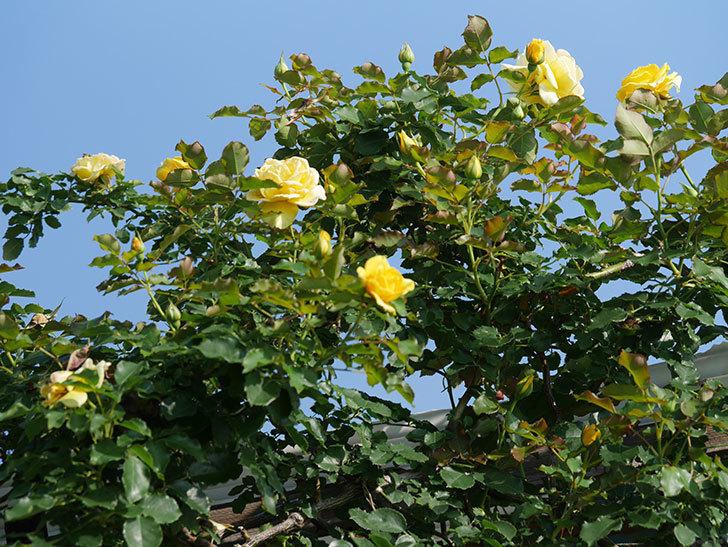 つるゴールドバニー(Gold Bunny Climbing)の2番花が増えてきた。ツルバラ。2021年-001.jpg