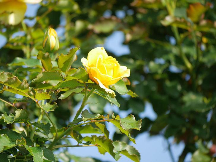 つるゴールドバニー(Gold Bunny Climbing)の2番花が増えてきた。ツルバラ。2021年-003.jpg
