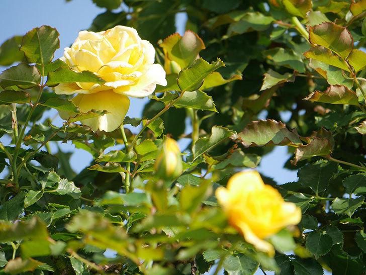 つるゴールドバニー(Gold Bunny Climbing)の2番花が増えてきた。ツルバラ。2021年-004.jpg