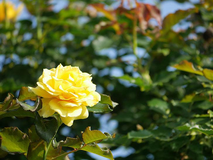 つるゴールドバニー(Gold Bunny Climbing)の2番花が増えてきた。ツルバラ。2021年-005.jpg