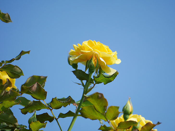 つるゴールドバニー(Gold Bunny Climbing)の2番花が増えてきた。ツルバラ。2021年-006.jpg