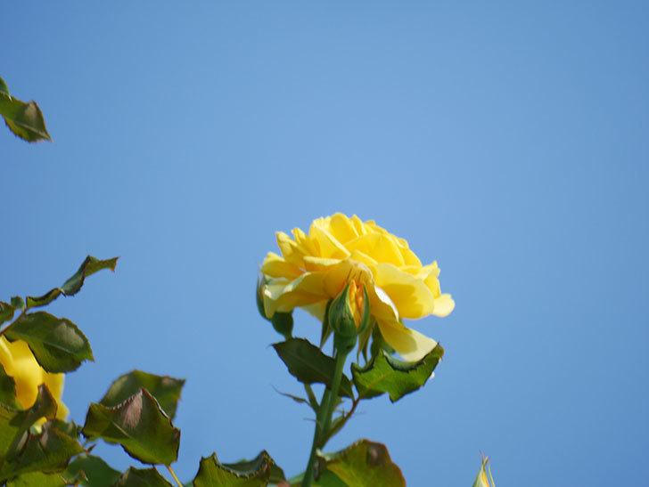 つるゴールドバニー(Gold Bunny Climbing)の2番花が増えてきた。ツルバラ。2021年-007.jpg