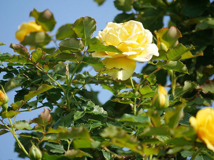 つるゴールドバニー(Gold Bunny Climbing)の2番花が増えてきた。ツルバラ。2021年-008.jpg