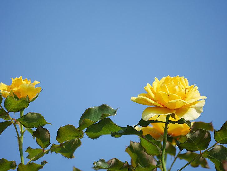 つるゴールドバニー(Gold Bunny Climbing)の2番花が増えてきた。ツルバラ。2021年-010.jpg