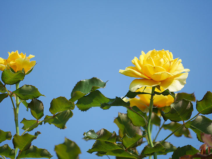 つるゴールドバニー(Gold Bunny Climbing)の2番花が増えてきた。ツルバラ。2021年-011.jpg