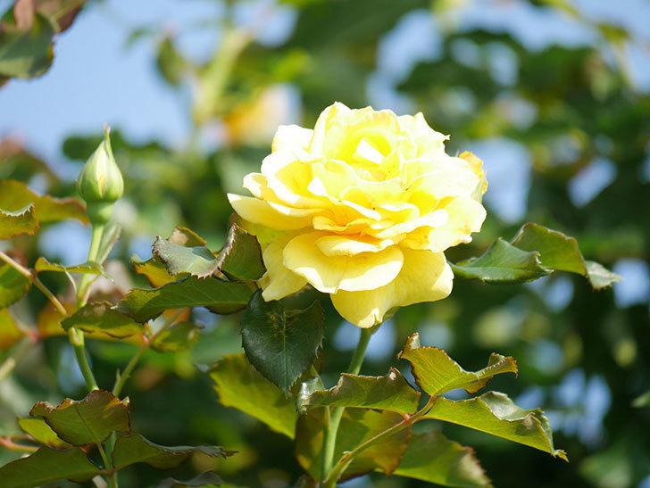 つるゴールドバニー(Gold Bunny Climbing)の2番花が増えてきた。ツルバラ。2021年-012.jpg