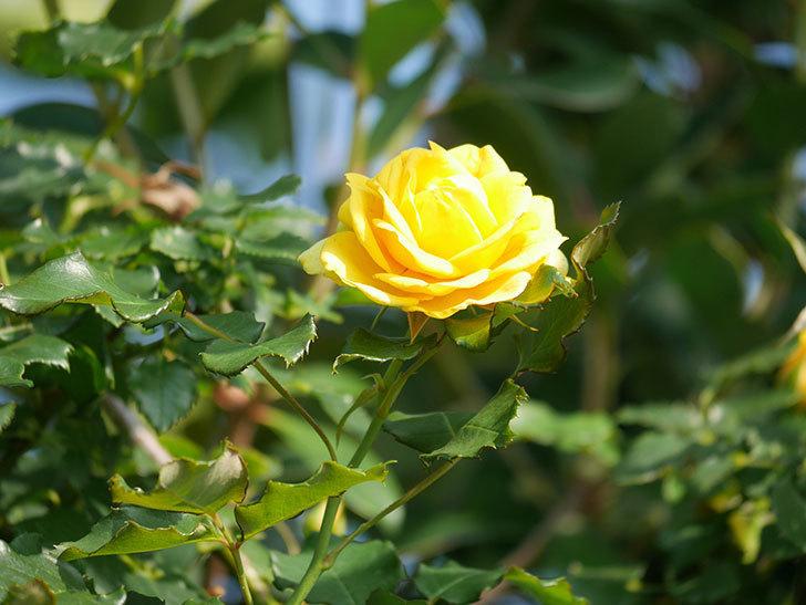 つるゴールドバニー(Gold Bunny Climbing)の2番花が増えてきた。ツルバラ。2021年-014.jpg
