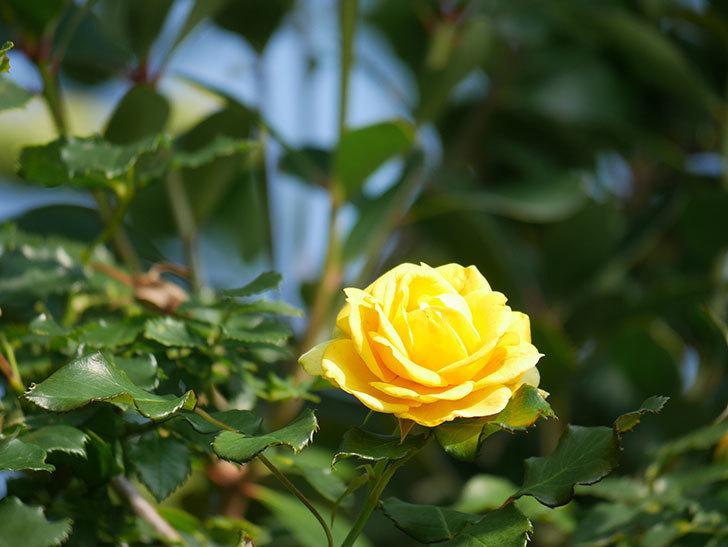 つるゴールドバニー(Gold Bunny Climbing)の2番花が増えてきた。ツルバラ。2021年-015.jpg