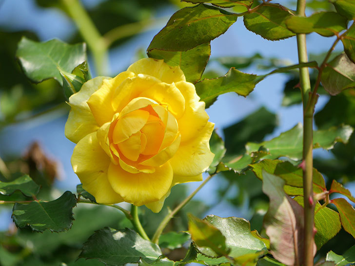 つるゴールドバニー(Gold Bunny Climbing)の2番花が増えてきた。ツルバラ。2021年-017.jpg
