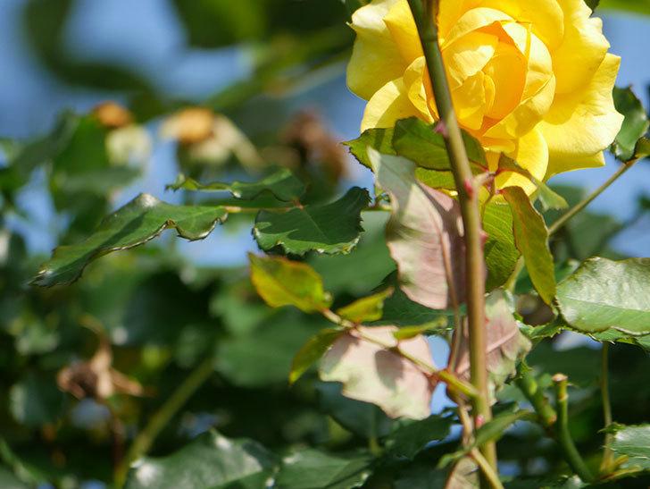 つるゴールドバニー(Gold Bunny Climbing)の2番花が増えてきた。ツルバラ。2021年-018.jpg