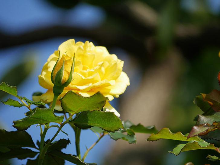 つるゴールドバニー(Gold Bunny Climbing)の2番花が増えてきた。ツルバラ。2021年-019.jpg