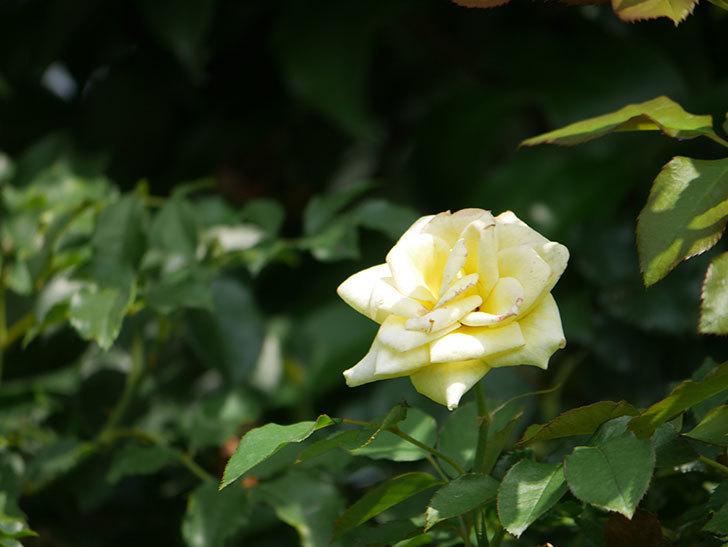 つるゴールドバニー(Gold Bunny Climbing)の夏花が咲いた。ツルバラ。2020年-002.jpg