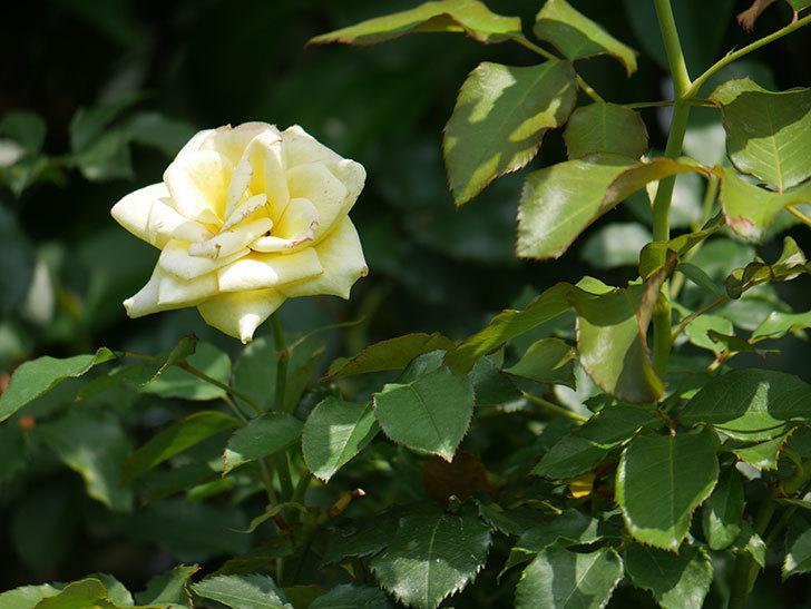 つるゴールドバニー(Gold Bunny Climbing)の夏花が咲いた。ツルバラ。2020年-003.jpg