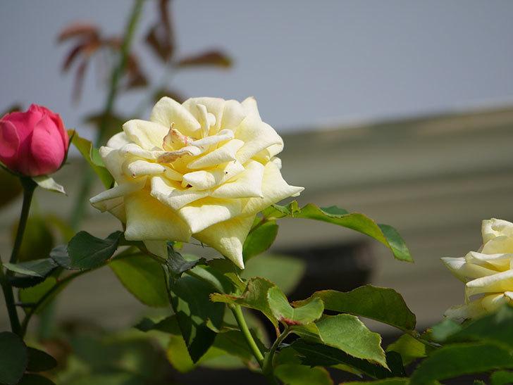 つるゴールドバニー(Gold Bunny Climbing)の夏花が咲いた。ツルバラ。2020年-006.jpg