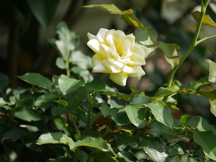 つるゴールドバニー(Gold Bunny Climbing)の夏花が咲いた。ツルバラ。2020年-009.jpg