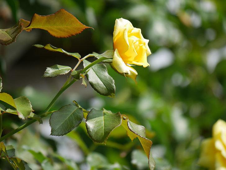 つるゴールドバニー(Gold Bunny Climbing)の夏花が咲いた。ツルバラ。2020年-011.jpg