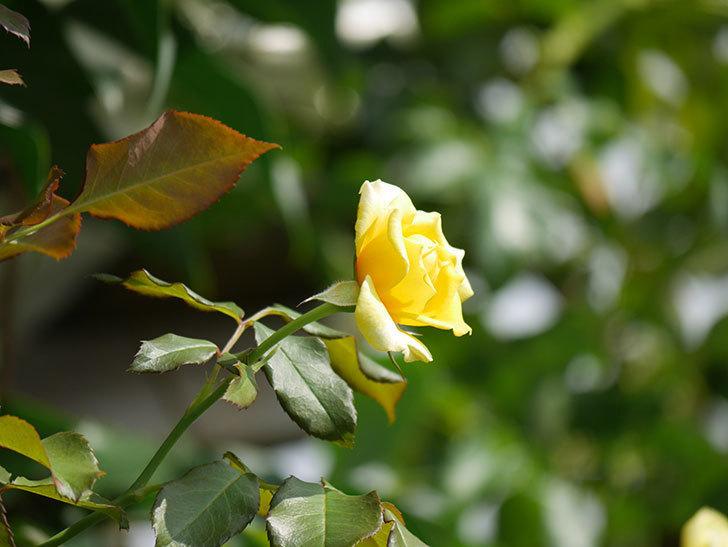 つるゴールドバニー(Gold Bunny Climbing)の夏花が咲いた。ツルバラ。2020年-012.jpg