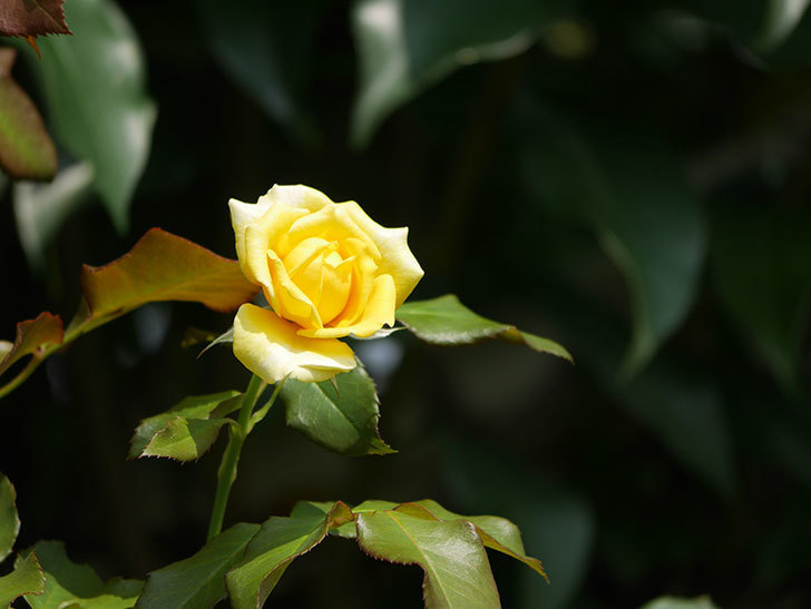 つるゴールドバニー(Gold Bunny Climbing)の夏花が咲いた。ツルバラ。2020年-013.jpg