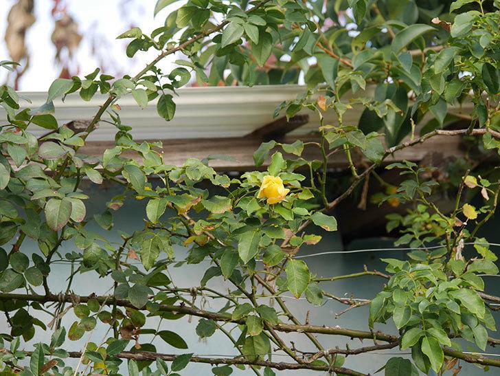 つるゴールドバニー(Gold Bunny Climbing)の秋花がまた咲いた。ツルバラ。2020年-001.jpg
