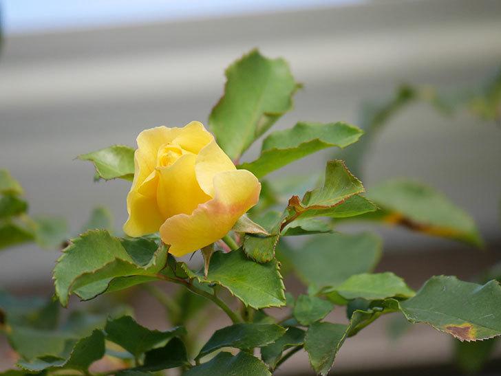 つるゴールドバニー(Gold Bunny Climbing)の秋花がまた咲いた。ツルバラ。2020年-003.jpg