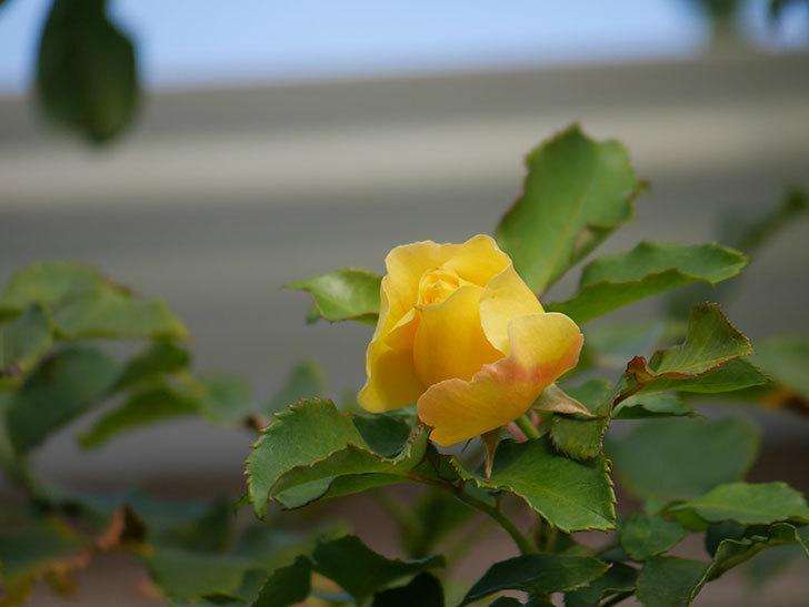 つるゴールドバニー(Gold Bunny Climbing)の秋花がまた咲いた。ツルバラ。2020年-004.jpg