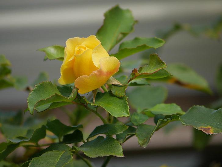 つるゴールドバニー(Gold Bunny Climbing)の秋花がまた咲いた。ツルバラ。2020年-005.jpg