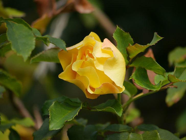 つるゴールドバニー(Gold Bunny Climbing)の秋花がまた咲いた。ツルバラ。2020年-006.jpg