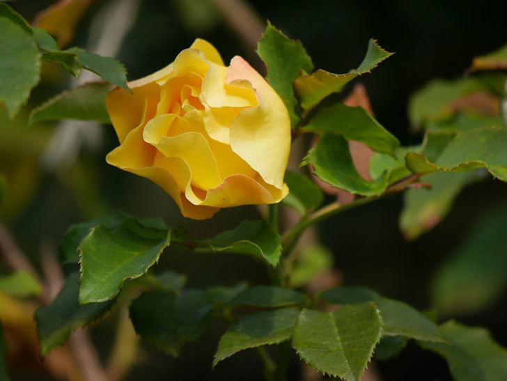 つるゴールドバニー(Gold Bunny Climbing)の秋花がまた咲いた。ツルバラ。2020年-007.jpg