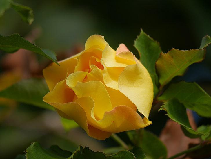 つるゴールドバニー(Gold Bunny Climbing)の秋花がまた咲いた。ツルバラ。2020年-008.jpg
