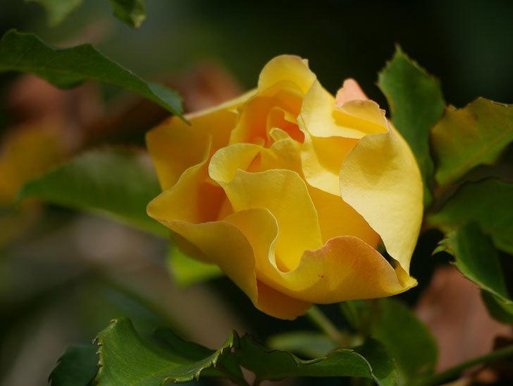 つるゴールドバニー(Gold Bunny Climbing)の秋花がまた咲いた。ツルバラ。2020年-009.jpg