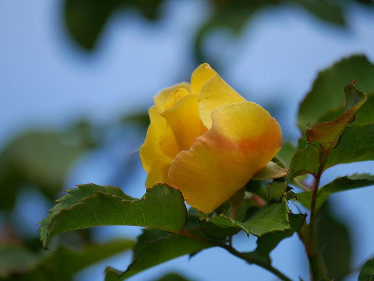 つるゴールドバニー(Gold Bunny Climbing)の秋花がまた咲いた。ツルバラ。2020年-010.jpg