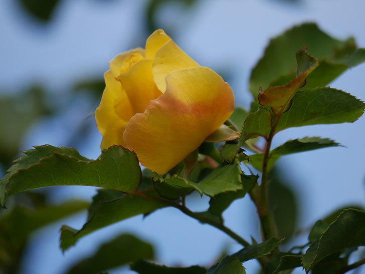 つるゴールドバニー(Gold Bunny Climbing)の秋花がまた咲いた。ツルバラ。2020年-011.jpg