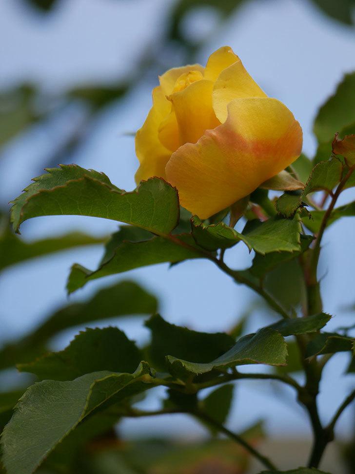 つるゴールドバニー(Gold Bunny Climbing)の秋花がまた咲いた。ツルバラ。2020年-012.jpg