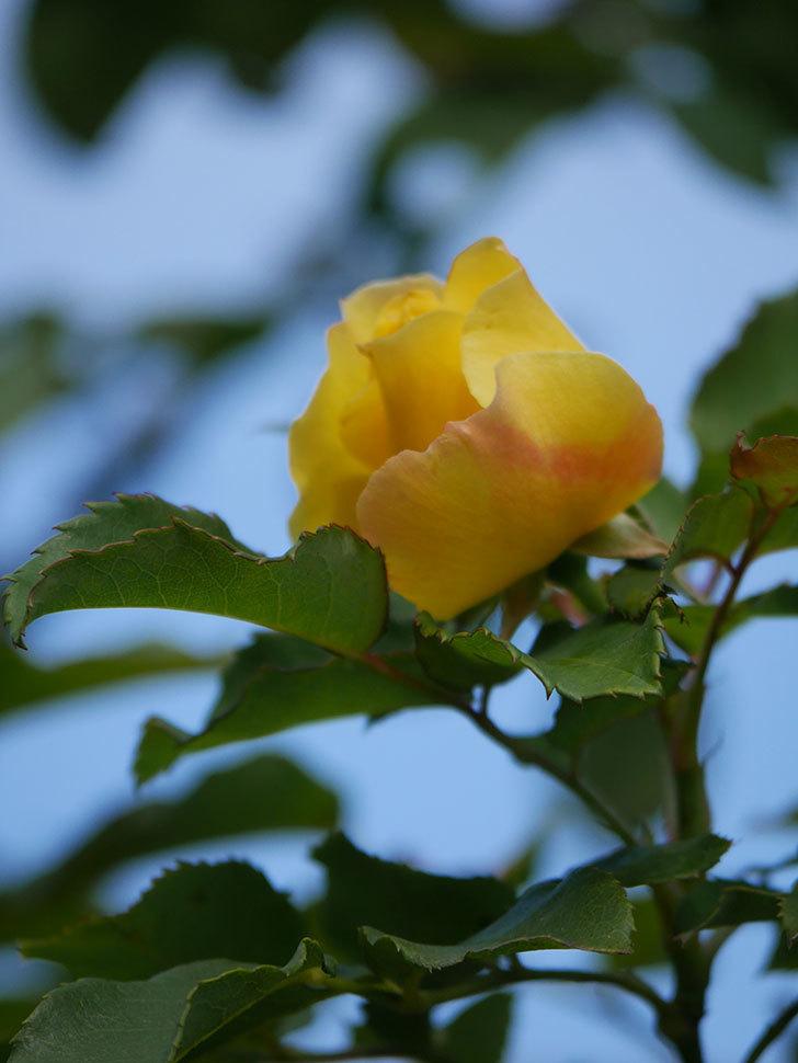 つるゴールドバニー(Gold Bunny Climbing)の秋花がまた咲いた。ツルバラ。2020年-013.jpg
