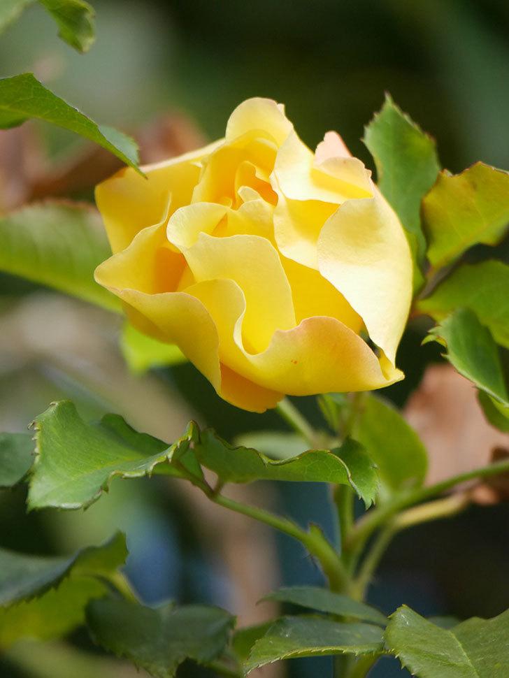 つるゴールドバニー(Gold Bunny Climbing)の秋花がまた咲いた。ツルバラ。2020年-014.jpg