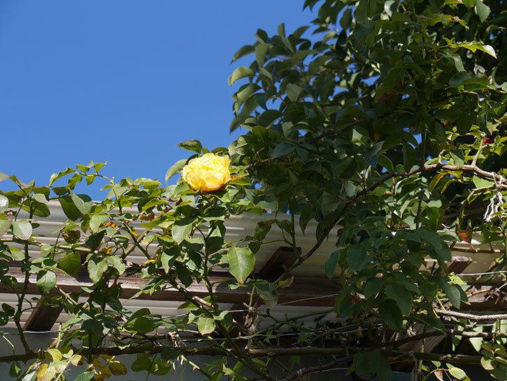 つるゴールドバニー(Gold Bunny Climbing)の秋花がまた咲いた。ツルバラ。2020年-015.jpg