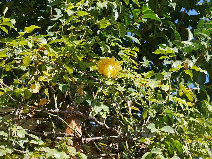 つるゴールドバニー(Gold Bunny Climbing)の秋花がまた咲いた。ツルバラ。2020年-017.jpg
