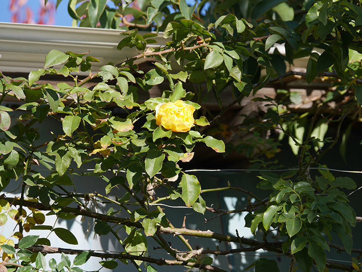 つるゴールドバニー(Gold Bunny Climbing)の秋花がまた咲いた。ツルバラ。2020年-018.jpg