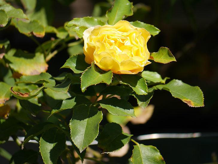 つるゴールドバニー(Gold Bunny Climbing)の秋花がまた咲いた。ツルバラ。2020年-021.jpg