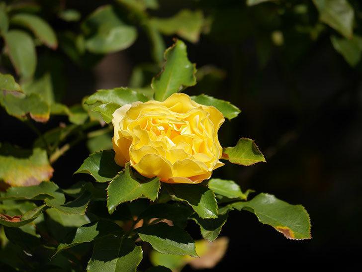 つるゴールドバニー(Gold Bunny Climbing)の秋花がまた咲いた。ツルバラ。2020年-022.jpg