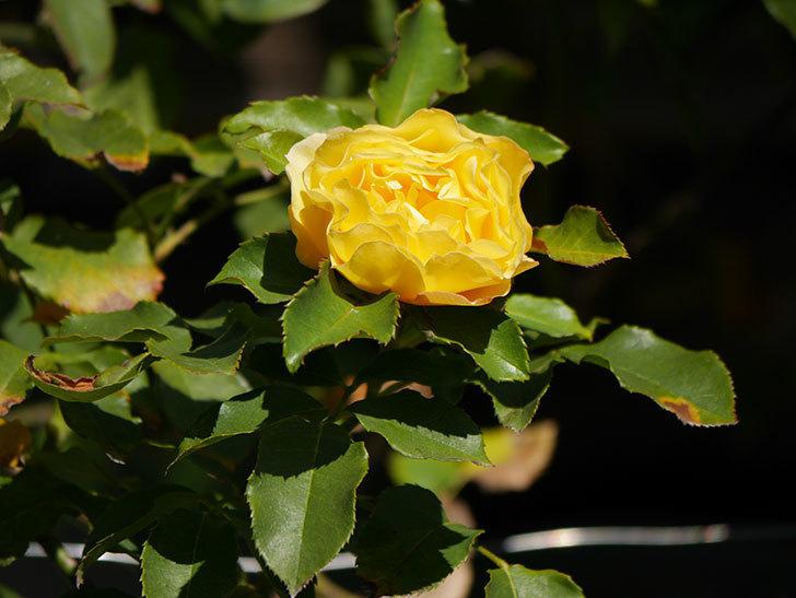 つるゴールドバニー(Gold Bunny Climbing)の秋花がまた咲いた。ツルバラ。2020年-023.jpg
