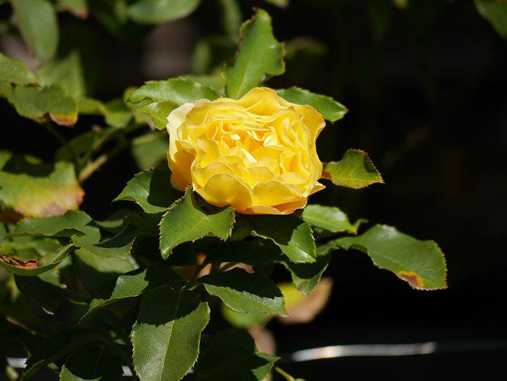 つるゴールドバニー(Gold Bunny Climbing)の秋花がまた咲いた。ツルバラ。2020年-024.jpg
