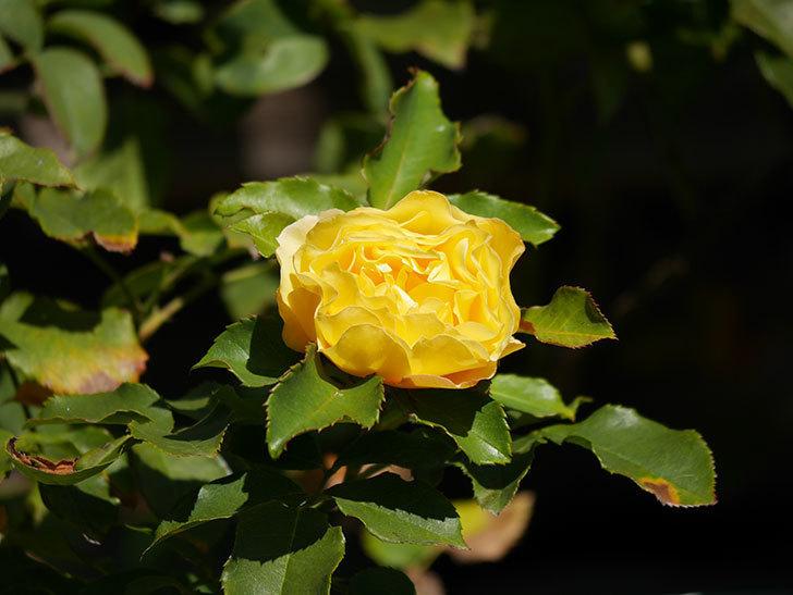 つるゴールドバニー(Gold Bunny Climbing)の秋花がまた咲いた。ツルバラ。2020年-025.jpg