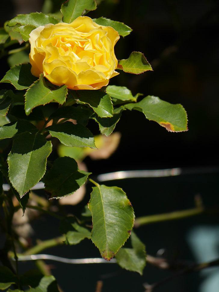 つるゴールドバニー(Gold Bunny Climbing)の秋花がまた咲いた。ツルバラ。2020年-026.jpg