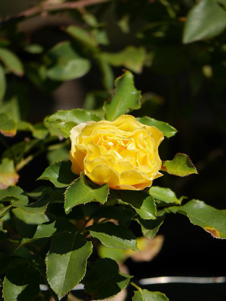 つるゴールドバニー(Gold Bunny Climbing)の秋花がまた咲いた。ツルバラ。2020年-027.jpg