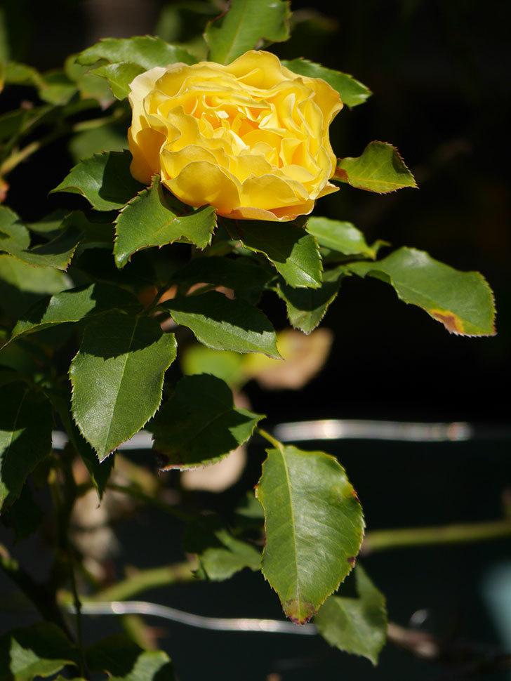 つるゴールドバニー(Gold Bunny Climbing)の秋花がまた咲いた。ツルバラ。2020年-028.jpg