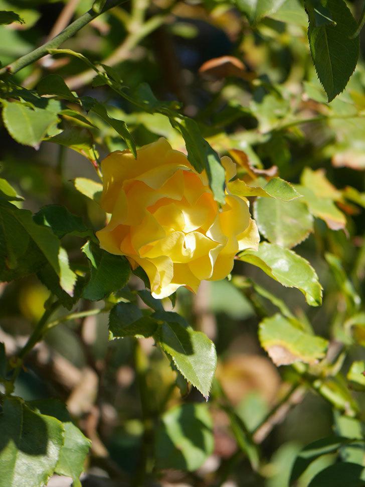 つるゴールドバニー(Gold Bunny Climbing)の秋花がまた咲いた。ツルバラ。2020年-029.jpg