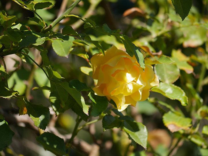 つるゴールドバニー(Gold Bunny Climbing)の秋花がまた咲いた。ツルバラ。2020年-030.jpg