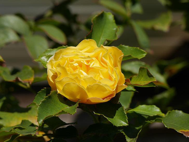 つるゴールドバニー(Gold Bunny Climbing)の秋花がまた咲いた。ツルバラ。2020年-031.jpg